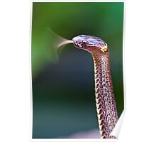 Dwarf Crowned Snake (Cacophis krefftii) Poster