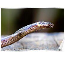 Dwarf Crowned Snake (Cacophis krefftii). Poster