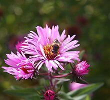 Bee on a Daisy by Sue Leonard