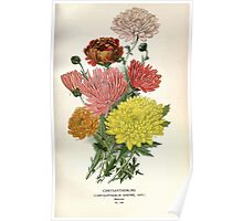 Favourite flowers of garden and greenhouse Edward Step 1896 1897 Volume 2 0223 Chrysanthemums Poster
