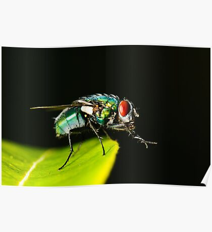 Red Eyed Flesh Fly Poster