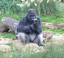 Silver Back Gorilla - Eating by rullo