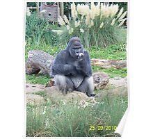 Silver Back Gorilla - Eating Poster