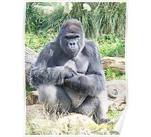 Silver Back Gorilla - Sitting Poster