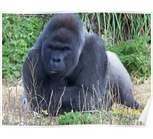 Silver Back Gorilla - relaxing Poster