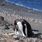 Gentoo penguins rookery by Marion Joncheres