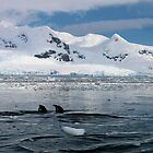 Gentoo penguins swimming in the Nekko bay by Marion Joncheres