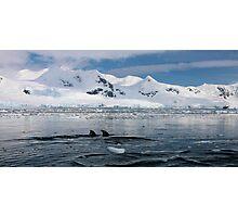 Gentoo penguins swimming in the Nekko bay Photographic Print