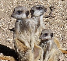 Meerkat Family by rullo