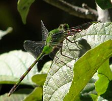 Great Pondhawk Dragonfly(erythemis vesiculosa) by hummingbirds
