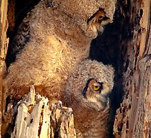 Great Horned Owl Baby Brothers by Greg Summers