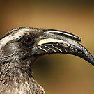 Hornbill by Carisma
