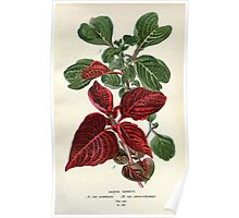 Favourite flowers of garden and greenhouse Edward Step 1896 1897 Volume 3 0245 Iresine Herbstii Poster