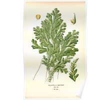 Favourite flowers of garden and greenhouse Edward Step 1896 1897 Volume 4 0289 Selaginella Martensii Poster