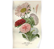 Favourite flowers of garden and greenhouse Edward Step 1896 1897 Volume 2 0172 China Asters Poster