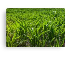 Sweetcorn growing in field Canvas Print