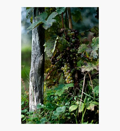 Grapes Photographic Print
