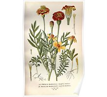 Favourite flowers of garden and greenhouse Edward Step 1896 1897 Volume 2 0205 French and Mexican Marigold Poster