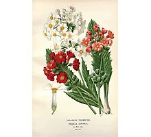 Favourite flowers of garden and greenhouse Edward Step 1896 1897 Volume 3 0065 Japanese Primrose Photographic Print