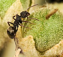 Small Dolly Ant by Jason Asher