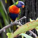 Rainbow Lorikeets Colours in close by kaety