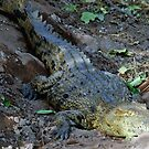 Nile Crocodile, Chobe National Park, Botswana, Africa by Adrian Paul