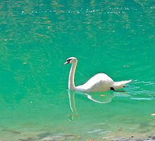 Swan on 'clear water of a lake (Italy) by alicara