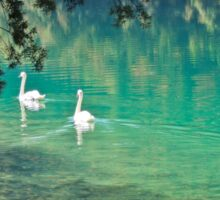 swans on the 'clear water of a lake (Italy) Sticker