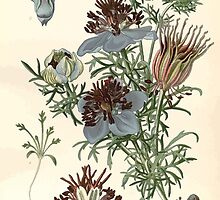 Favourite flowers of garden and greenhouse Edward Step 1896 1897 Volume 1 0036 Spanish Fennel Flower by wetdryvac