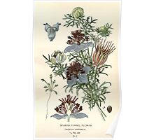 Favourite flowers of garden and greenhouse Edward Step 1896 1897 Volume 1 0036 Spanish Fennel Flower Poster