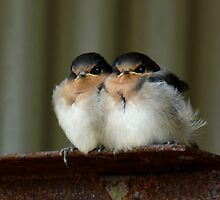 Swallow Chicks by Lance Leopold