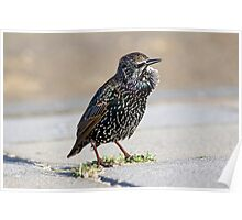 Portrait of another starling Poster