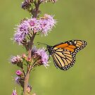 Monarch and Blazing Star 4-2015.jpg by Thomas Young