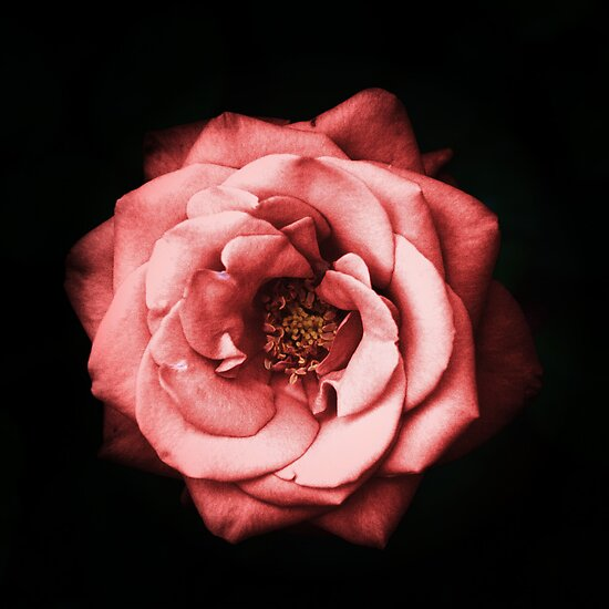 Its a Red Rose by Sarah Moore