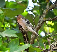 Bird - Finch laying on branches hidden by leaves by alicara