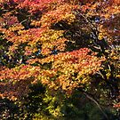 Maples in Glorious Autumn Colour by Graham Prentice
