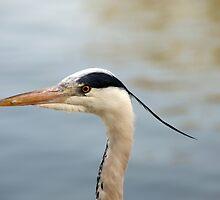 A head shot of a Grey Heron - Herons - in profile. by Yven-Dienst