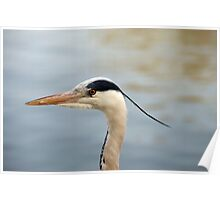 A head shot of a Grey Heron - Herons - in profile. Poster