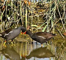 The sweetness and love of a pair of moorhens 2 by alicara
