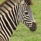 Baby zebra. Tala Wildlife reserve, Durban, South Africa by Sarah Howes
