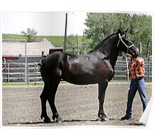 Gorgeous Percheron Mare Poster