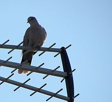 dove on an antenna by alicara