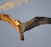 Osprey flys overhead as the sun sets by imagetj
