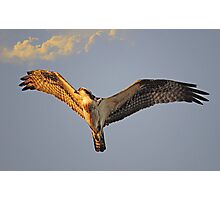Osprey flys overhead as the sun sets Photographic Print