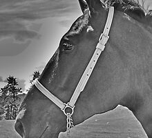 Profile Of A Percheron by Al Bourassa