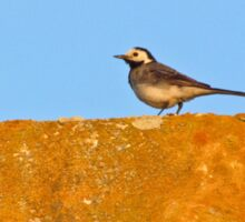 White Wagtail on a roof Sticker