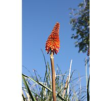 Last of the Red Hot Pokers Photographic Print