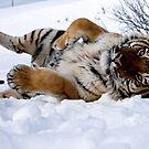 siberian tiger 43 by mrshutterbug