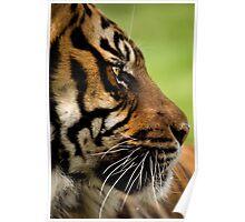 Sumatran Tiger 5 Poster