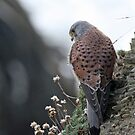 KESTREL II by Debbie Ashe